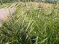 Bromus japonicus (3861256624).jpg