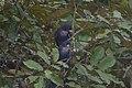 Bronze-winged Parrot 2015-06-07 (2) (39421362275).jpg