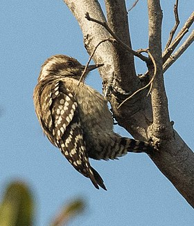 Brown-backed Woodpecker - Gambia (31838114303), crop.jpg