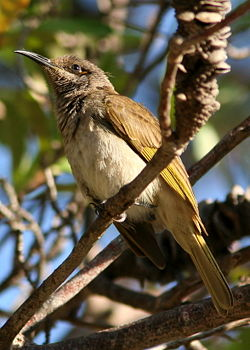 Brown Honeyeater.jpg