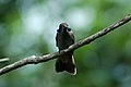 Brown Violetear (Colibri delphinae) 2015-06-14 (16) (39431690795).jpg