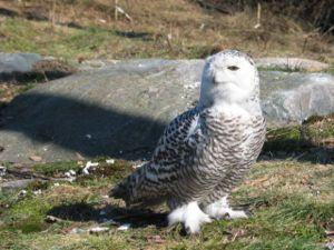Korkeasaari - A snowy owl in Korkeasaari
