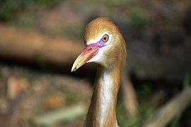 Bubulcus ibis @ KL.jpg