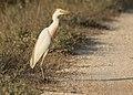 Bubulcus ibis - Western Cattle Egret 15.jpg