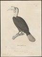 Buceros corrugatus - 1700-1880 - Print - Iconographia Zoologica - Special Collections University of Amsterdam - UBA01 IZ19300079.tif