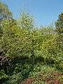 Buda Arboreta. Lower Garden. Paper birch (Betula papyrifera). - Budapest.JPG
