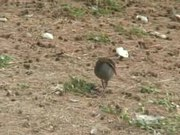 File:Buff-banded Rail06.ogv