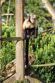 Buffy-headed Capuchin at Chester Zoo 6.jpg
