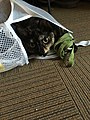 Buffy the Cat in the Laundry Hamper.jpg