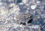 Bufo.woodhousii.jpg