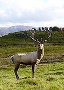 Bukhara Deer stag at Speyside Wildlife Park - geograph.org.uk - 1002574.jpg