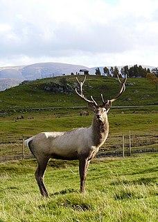 Central Asian red deer Deer species
