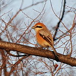 Bull-headed Shrike Osaka 3.jpg