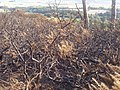 Burnt-out gorse - geograph.org.uk - 1519988.jpg