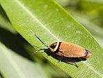 Bush Cockroach.jpg
