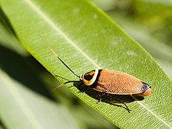 definition of cockroach