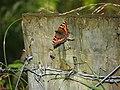 Butterfly, Doon Forest - geograph.org.uk - 2033011.jpg