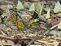 Butterfly mud-puddling at Kottiyoor Wildlife Sanctuary (12).jpg