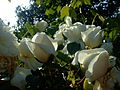 C-rosa.flower9.jpg