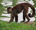 C. olivaceus Zoo SP.jpg
