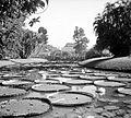 COLLECTIE TROPENMUSEUM 's Lands plantentuin Buitenzorg. Victoria regia vijver TMnr 10006229.jpg