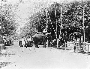Pangkalan Brandan - Elephant transporting timber in Pangkalan Brandan in the 1920s
