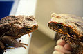 CSIRO ScienceImage 1086 Cane toads.jpg