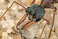 CSIRO ScienceImage 1143 Bull ant Myrmecia sp.jpg