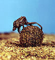 CSIRO ScienceImage 186 A Member of the Dung beetle Family.jpg