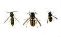 CSIRO ScienceImage 56 Hierarchy of European Wasps.jpg
