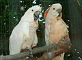 Cacatua moluccensis -Ardastra Gardens, Zoo and Conservation Centre, Nassau, Bahamas-8a (2).jpg