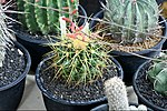 Cactaceae-Cactus in Thailand by Trisorn Triboon 9.JPG