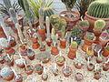 Cacti - Talcott Greenhouse - Mount Holyoke College - DSC04545.JPG