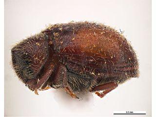 <i>Caenocara</i> genus of beetles