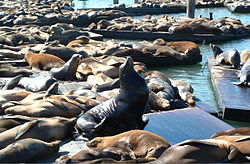 Photo of sea lions crowded together on dock.