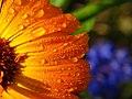 Calendula Drops (3982702144).jpg