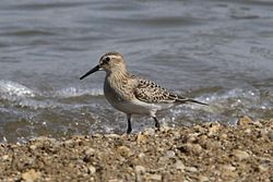 Calidris bairdii, Deer Creek, Ohio 2.jpg