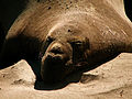California Elephant Seals (4889949256).jpg