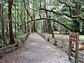 California redwood trees nature trail path.JPG