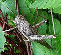 Calliptamus barbarus - Flickr - gailhampshire (5).jpg