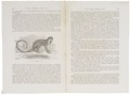 Callithrix sciurea - 1700-1880 - Print - Iconographia Zoologica - Special Collections University of Amsterdam - UBA01 IZ20200086.tif