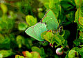 Callophrys rubi, Green Hairstreaks, North Wales, May 2007 (21166343943).jpg