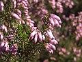 Calluma vulgaris Flowers Closeup SierraMadrona.jpg