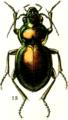 Calosoma elegans.png