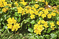 Caltha palustris Kingcup, Marsh Marigold დიდბაია.JPG