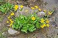 Caltha palustris in Avoriaz (8).jpg