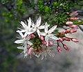 Calytrix tetragona -澳洲塔斯曼尼亞 Mt Amos, Tasmania- (10856030813).jpg