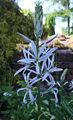 Camassia leichtlini a1.jpg