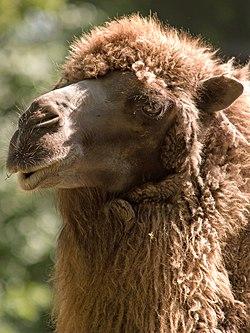 a camel's fur up close.