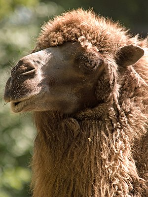 Portrait of an funny looking camel